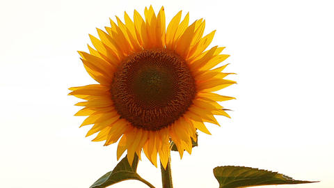 blooming sunflowers on a white background Stock Video Footage
