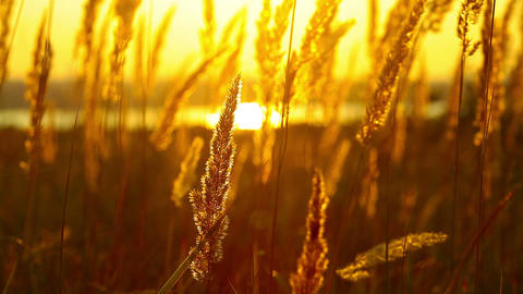 wheat at dawn Stock Video Footage