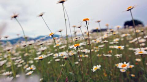 flowering camomiles Footage