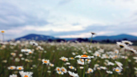 flowering camomiles Stock Video Footage
