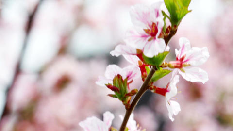pink cherry flowers blooming in springtime Footage