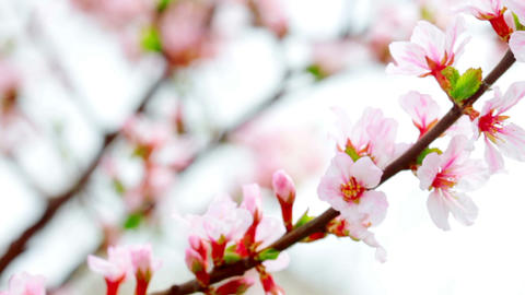 pink cherry flowers blooming in springtime Stock Video Footage