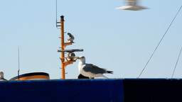 SEAGULL ON THE ROOF Stock Video Footage