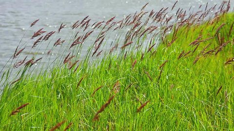 green grass on riverside in wind Stock Video Footage