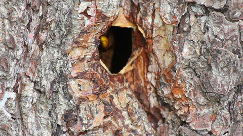 hornet's nest in tree hollow Stock Video Footage