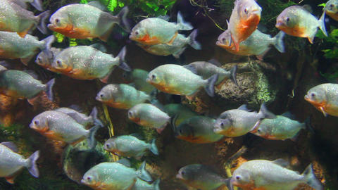 piranhas fish underwater Footage