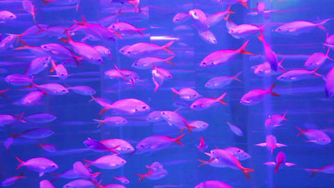 school of red fish in aquarium Footage