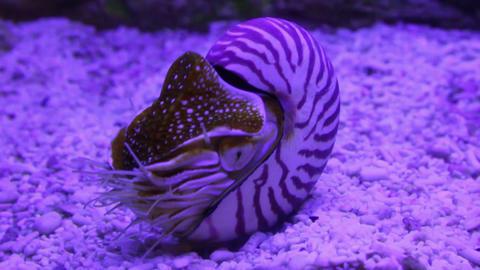 nautilus shell underwater Stock Video Footage