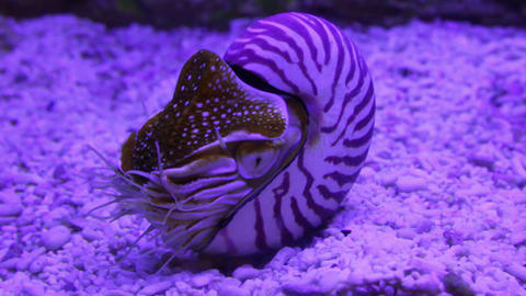 nautilus shell underwater Stock Video Footage