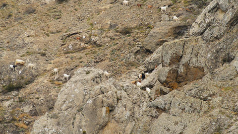 sheep and goats graze on mountain meadows Stock Video Footage