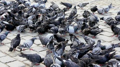 pigeon Footage