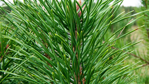 Pine branches Footage