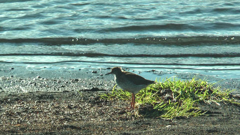 spotted redshank (stelkur) at sea in iceland Footage