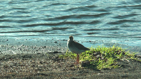 spotted redshank (stelkur) at sea in iceland Stock Video Footage
