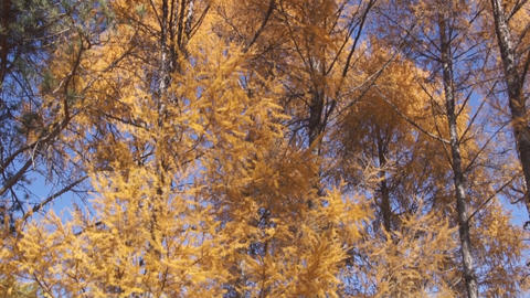 Yellow larch trees pan up Stock Video Footage