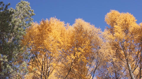Yellow larch trees pan up Footage