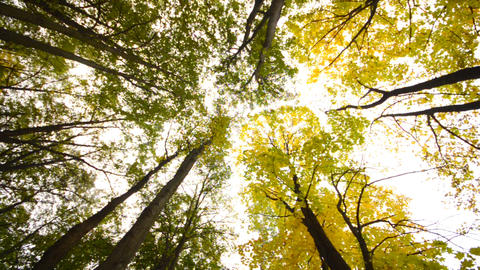 High Angle of View of Giant Trees, Autumn Scene Stock Video Footage