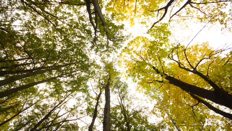 High Angle of View of Giant Trees, Autumn Scene Footage
