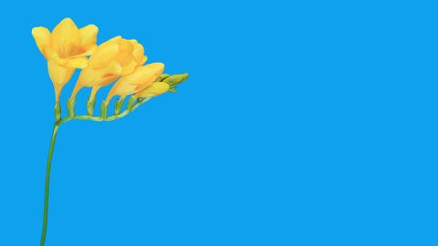 Time-lapse opening yellow Freesia flower buds ALPH Stock Video Footage
