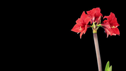 Growth of red hippeastrum flower buds ALPHA matte Stock Video Footage