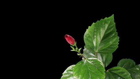 Blooming red Hibiscus on a black background (Hibis Stock Video Footage