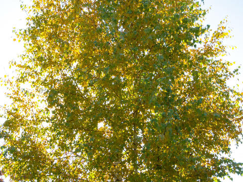 Sun behind birch branches. Time Lapse. 4x3 Stock Video Footage