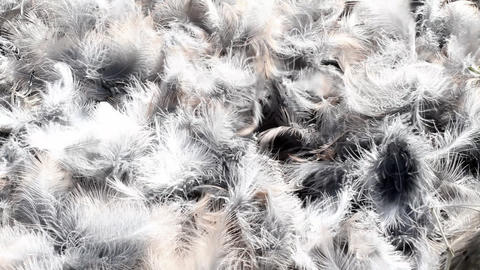 bright bird feathers Stock Video Footage