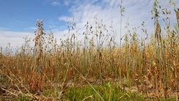 oat crop on an agricultural field Stock Video Footage