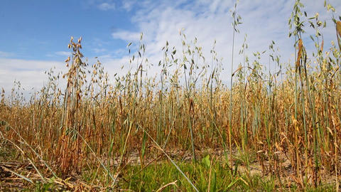 Oat Crop On An Agricultural Field stock footage