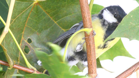 bird titmouse on tree Footage