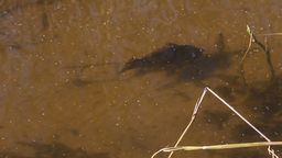 crucian in a pond underwater Stock Video Footage