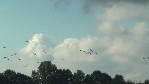 large flock of greylag geese in formation flight Stock Video Footage