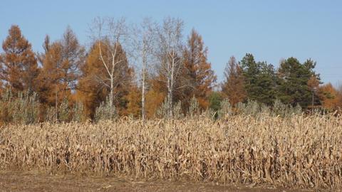 Corn field 01 Stock Video Footage