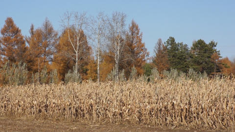Autumn Corn Field 1