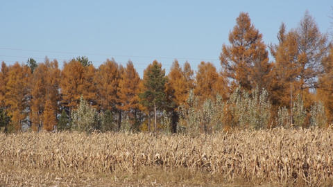 Autumn Corn Field 2