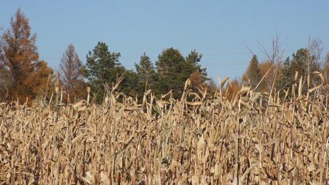 Corn field 03 Stock Video Footage