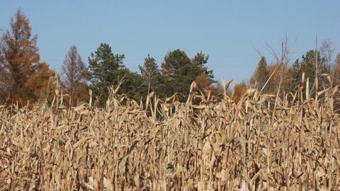 Corn field 03 Footage