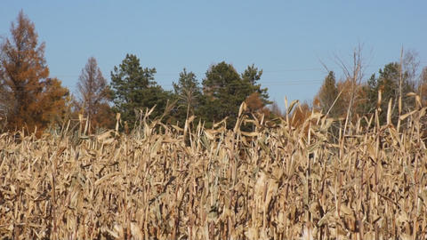 Corn field 03 Stock Video Footage