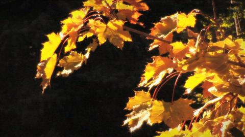 (1124) Autumn Golden Maple Tree Leaves Footage