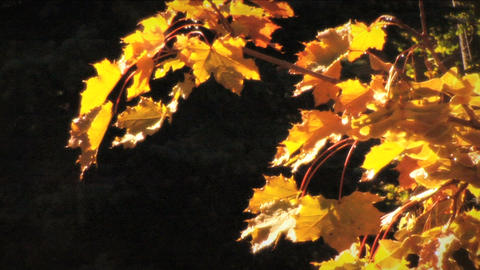 (1124) Autumn Golden Maple Tree Leaves Stock Video Footage