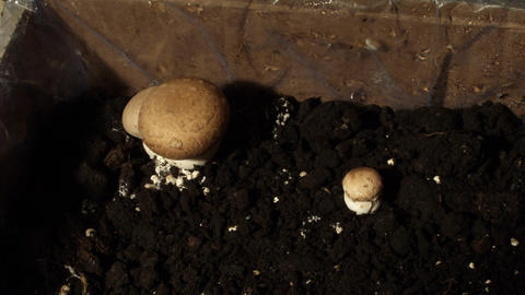 Timelapse mushrooms 01 Stock Video Footage