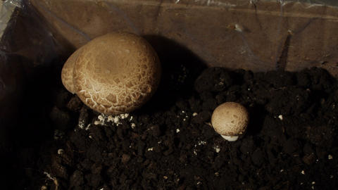 Timelapse mushrooms 01 Footage