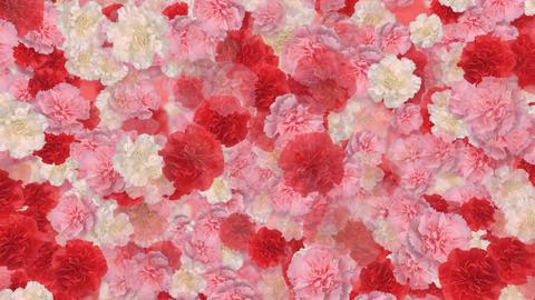 Flower Carnation 0