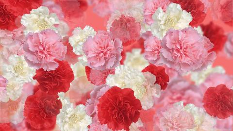 Flower Carnation 1
