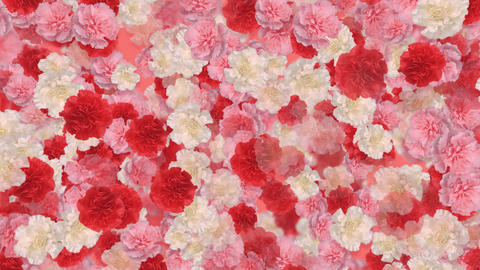 Flower Carnation 2