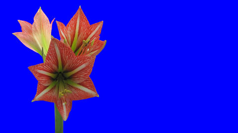 Time-lapse of opening Minerva Christmas amaryllis 3ck... Stock Video Footage