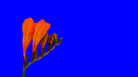 Time-lapse of opening orange freesia flower blue chroma... Stock Video Footage