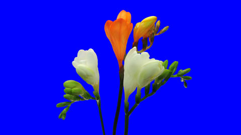 Time-lapse opening fading white orange freesia 6ck blue chroma key Footage