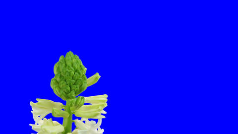 Time-lapse growing white hyacinth Christmas flower blue... Stock Video Footage