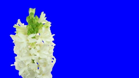 Time-lapse growing white hyacinth Christmas flower blue chroma key 2ck Footage